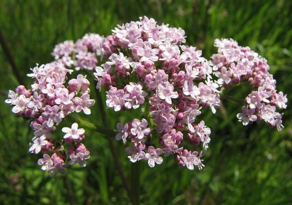 El INTA estudia especies medicinales de la flora argentina | BFB Digital